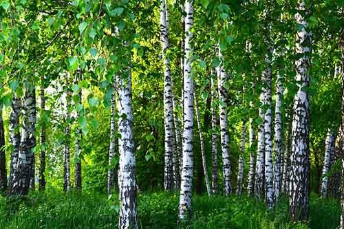 ЧТО ЛЕЧИТ БЕРЕЗА.ЛЕКАРСТВО С БЕРЁЗЫ.Лекарства просто растут на березе. , Такие компоненты дерева, как листья, ветки, почки, сок и даже бересту широко применяют в народной медицинской практике.