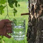 Лекарства просто растут на березе. , Такие компоненты дерева, как листья, ветки, почки, сок и даже бересту широко применяют в народной медицинской практике.