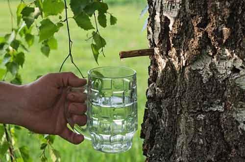 ЛЕКАРСТВО С БЕРЁЗЫ.Лекарства просто растут на березе. , Такие компоненты дерева, как листья, ветки, почки, сок и даже бересту широко применяют в народной медицинской практике.