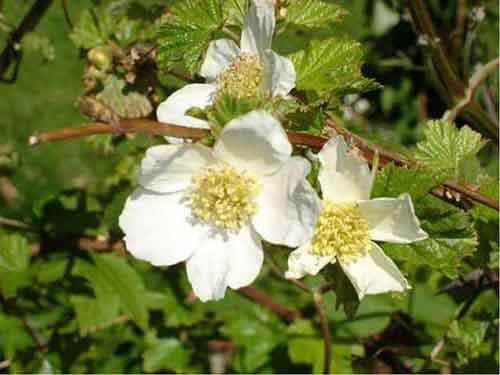 О применении малина в народной медицине. Рецепты народной медицины с малиной. Использование ягоды, цветов, листьев и корней кустарника.