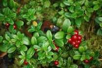 ягода брусника лечебные свойства и противопоказания